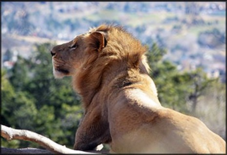 Abuto, male African lion at Cheyenne Mountain Zoo