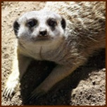 Bugs and mealworms for meerkats