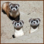 Meat for black-footed ferrets