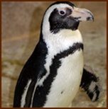 Multi-vitamin for African penguins