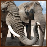 Vitamin E for African elephants